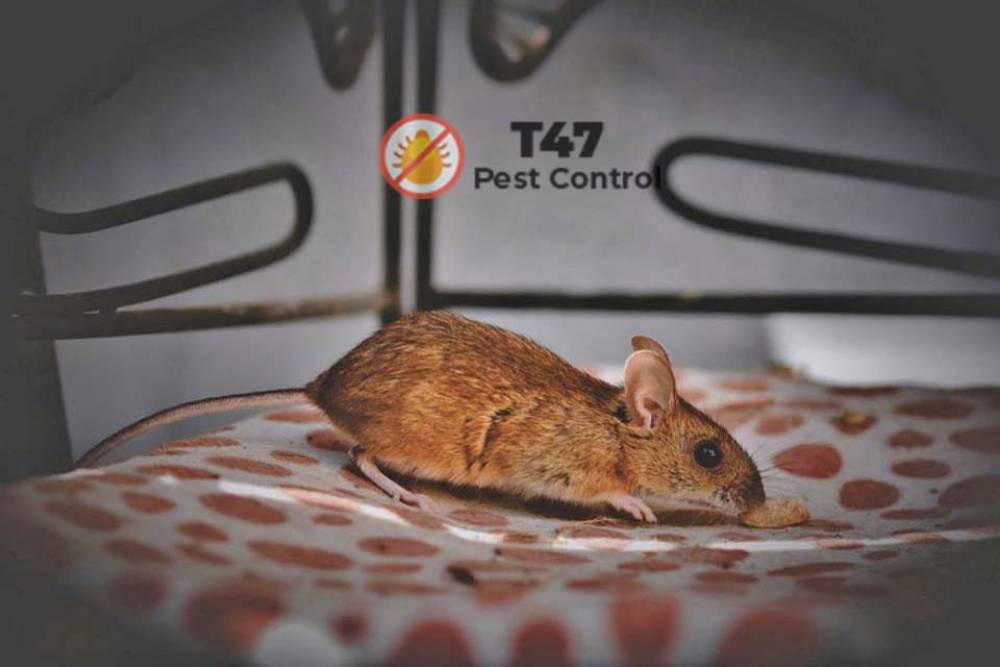 Why do people think there is no difference between mouse and rat? | Pest Control Carlton