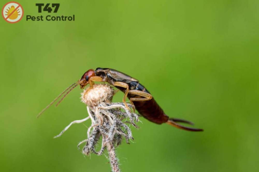 ARE EARWIGS HARMFUL TO US | Best Pest Control Melbourne