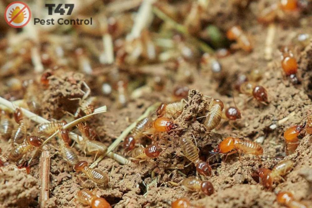 What are winged Termites? | Pest Control Rowville