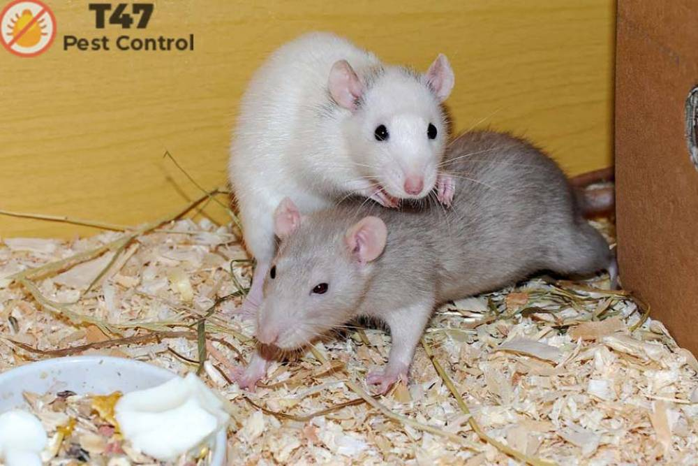 Rat vs Mouse- Is it the same or different? |Pest control companies near me